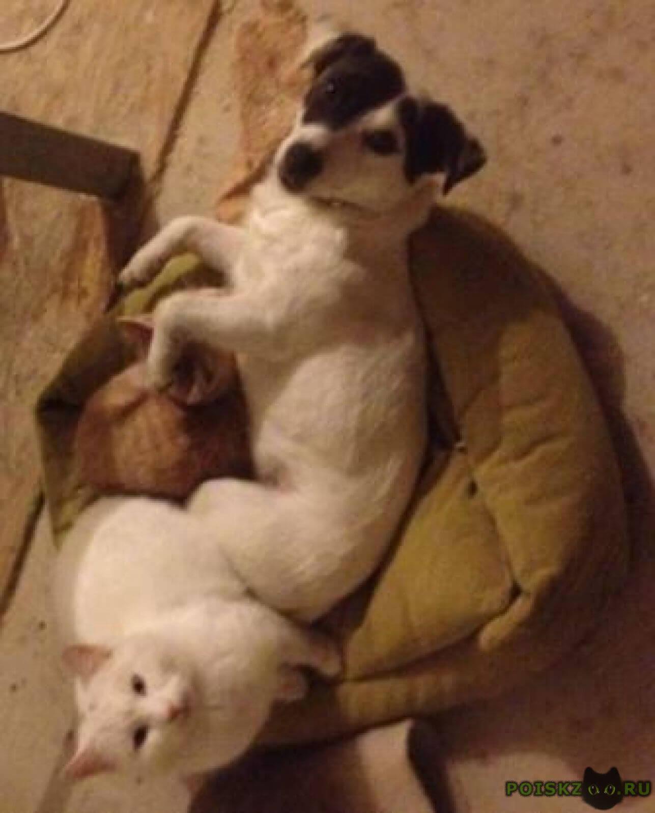 Пропала собака джек рассел терьер г.Серпухов