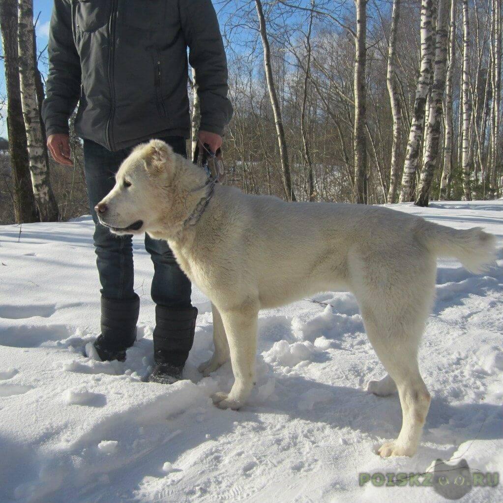 Пропала собака среднеазиатская овчарка в пос. ульяновка (саблино) г.Тосно