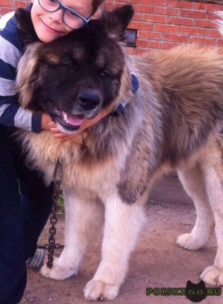 Пропала собака кобель американская акита г.Казань