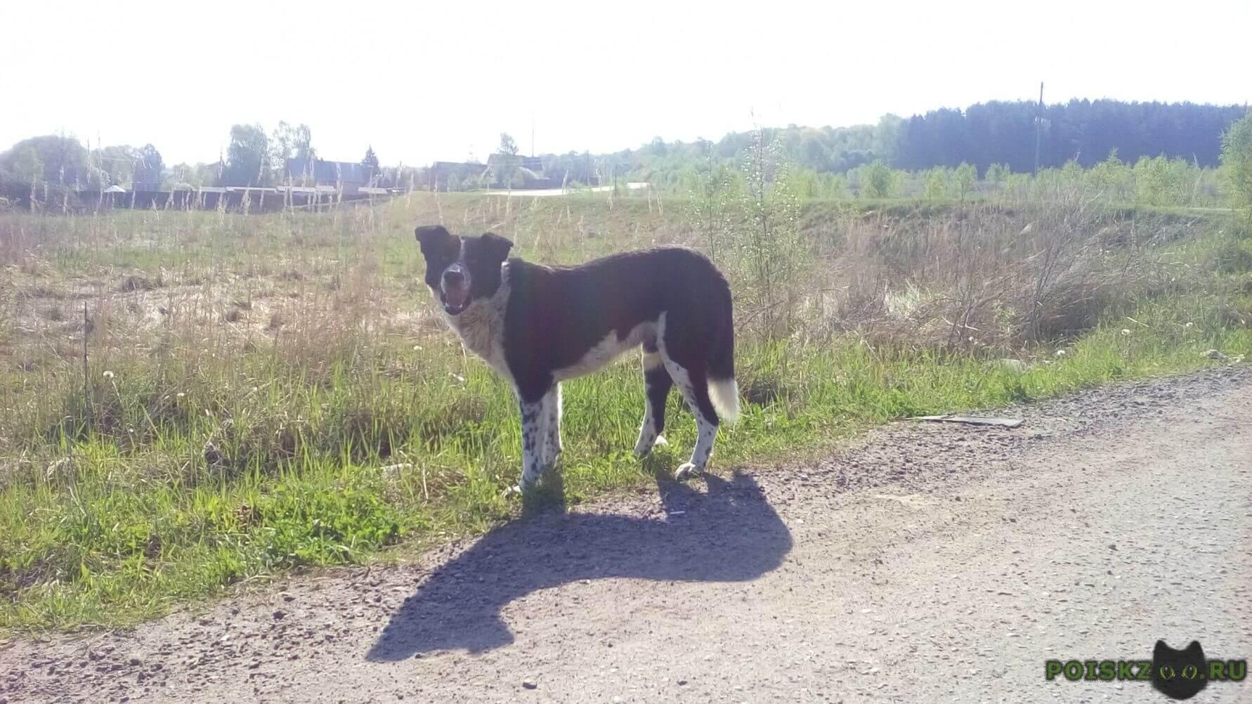 Найдена собака кобель черно-белый метис с черн.пятнышками г.Чехов