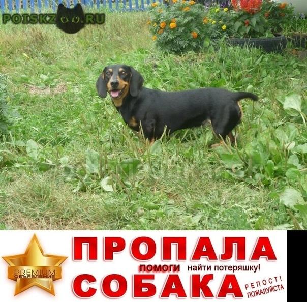 Пропала собака такса, девочка. ул. петухова г.Новосибирск