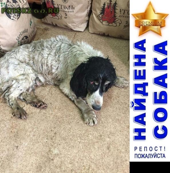Найдена собака спаниель черно-белый московская область г.Ногинск