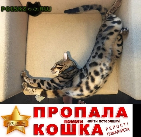 Пропал кот бенгал г.Бердск