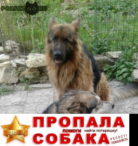 Пропала собака кобель немецкая овчарка г.Гатчина