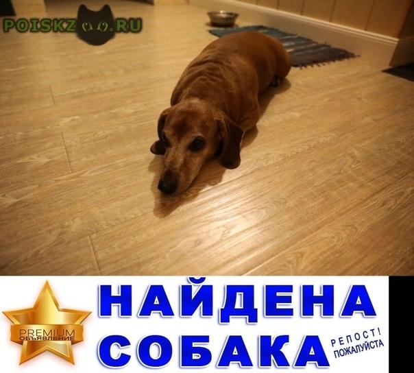 Найдена собака кобель - 6 августа такса г.Красноярск