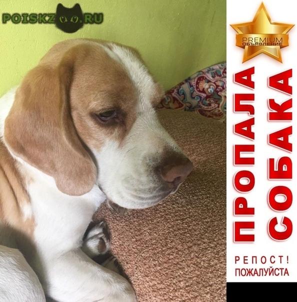 Пропала собака кобель бигль зюзино г.Москва