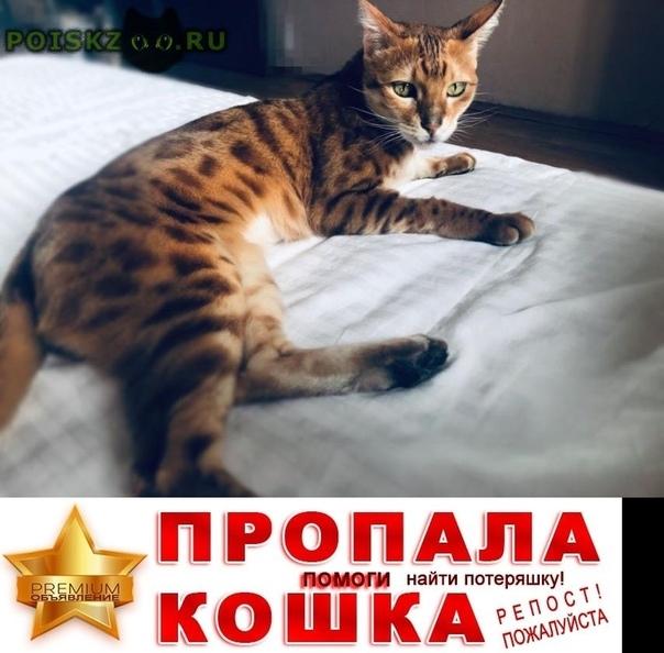 Пропал кот бенгальский г.Щелково