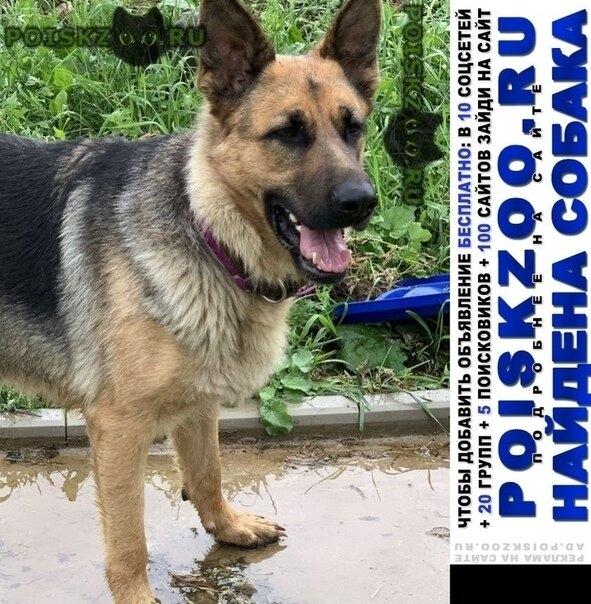 Найдена собака немецкая овчарка, девочка г.Истра
