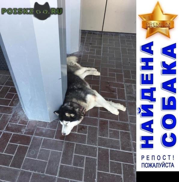 Найдена собака кобель породы сибирский хаски г.Ульяновск