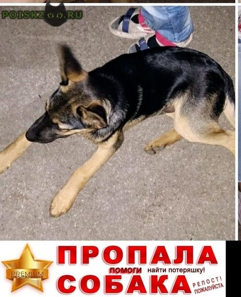 Пропала собака кобель щенок-подросток овчаритого типа Самара