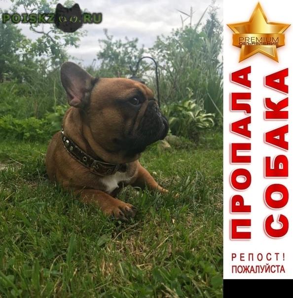 Пропала собака французский бульдог в лесколово г.Всеволожск