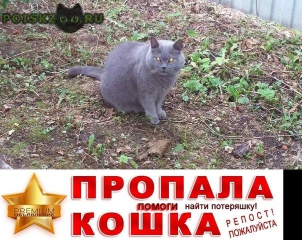 Пропал кот, британец, серый. г.Икша
