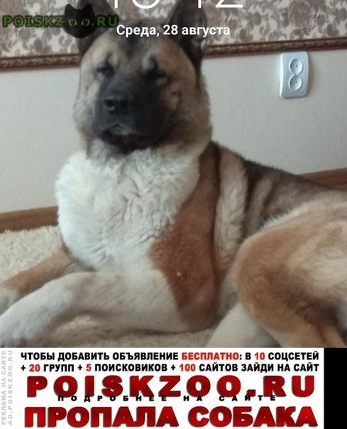 Пропала собака кобель американская акита Пермь