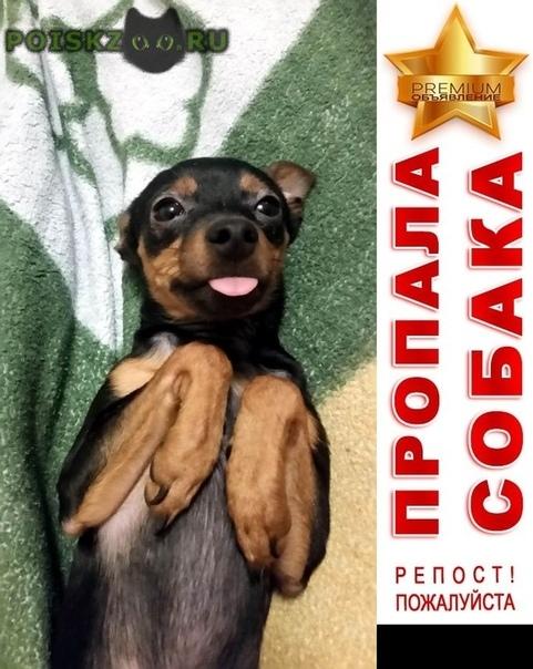 Пропала собака кобель тойчик г.Красноярск
