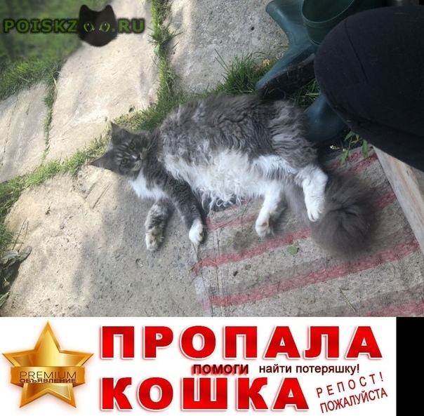 Пропал кот серый (голубой) мэйн кун г.Чехов