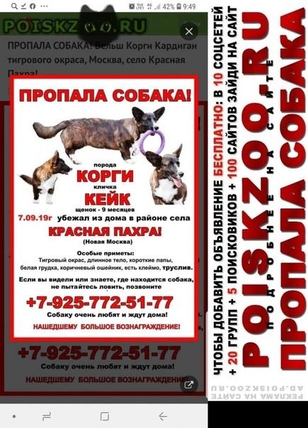 Пропала собака кобель  вельш корги кардиган тиг г.Москва