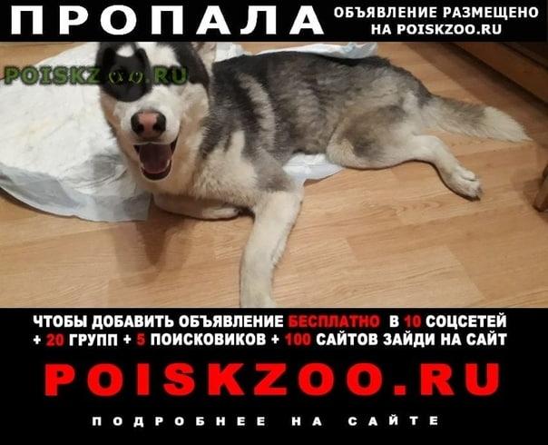 Пропала собака кобель хаски по имени барс. г.Тула
