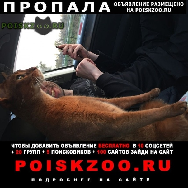 Пропал кот абиссинец. г.Анапа