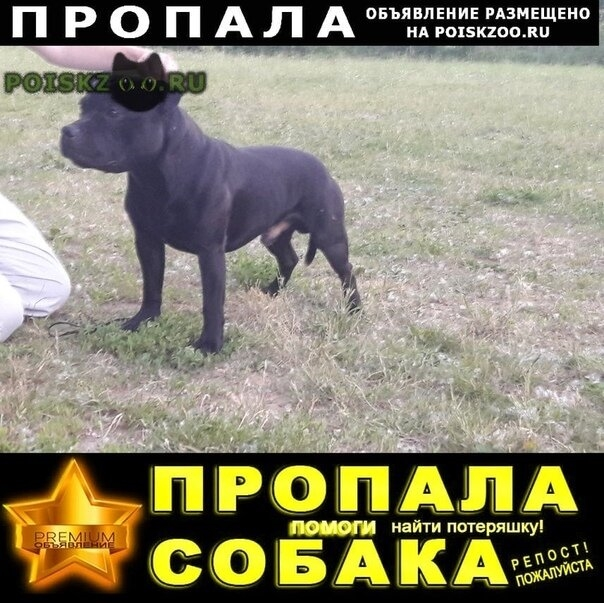 Пропала собака кобель английский стаффордширский бультерьер г.Рязань