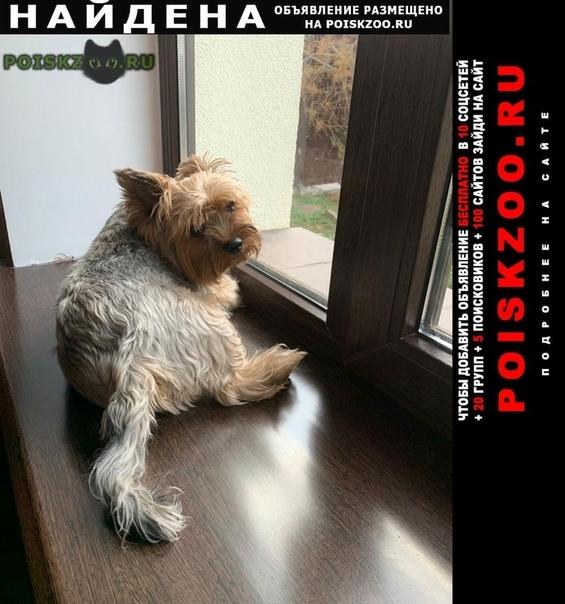 Найдена собака кобель йоркширский терьер мальчик г.Волгоград