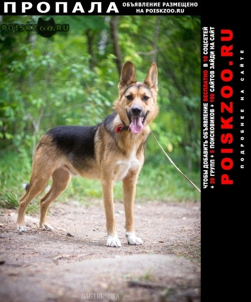 Пропала собака кобель метис овчарки г.Дедовск