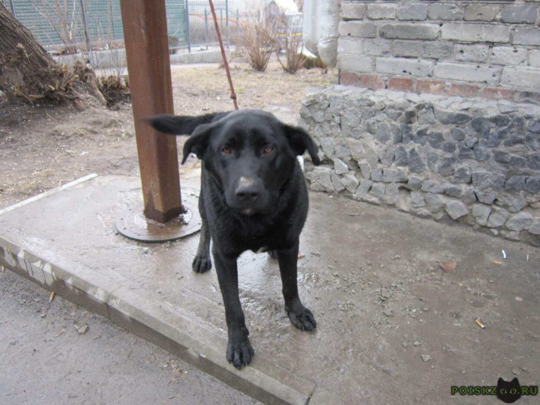 Найдена собака кобель чёрный лабрадор. г.Новосибирск