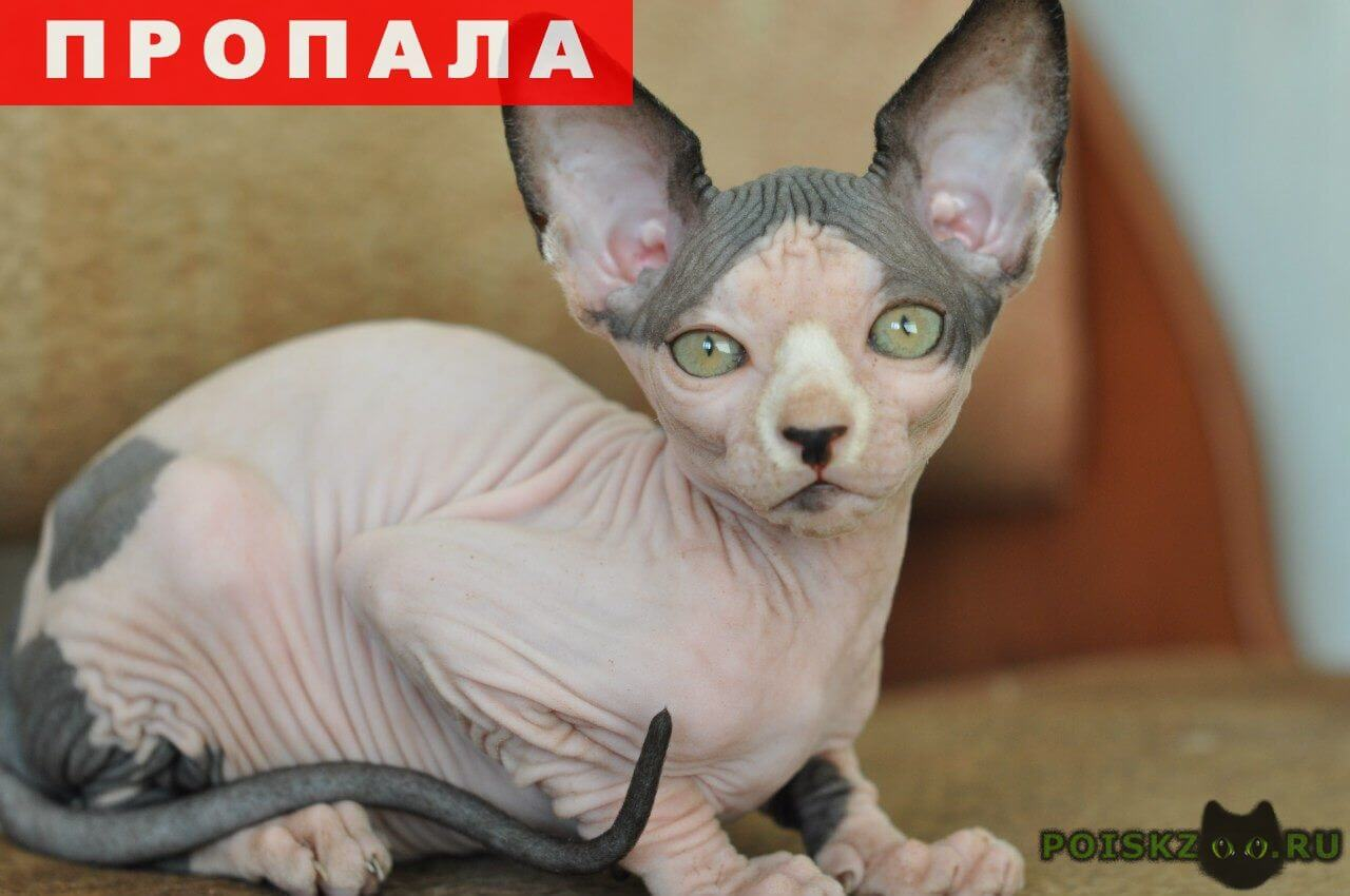 Пропала кошка сфинкс г.Электроугли