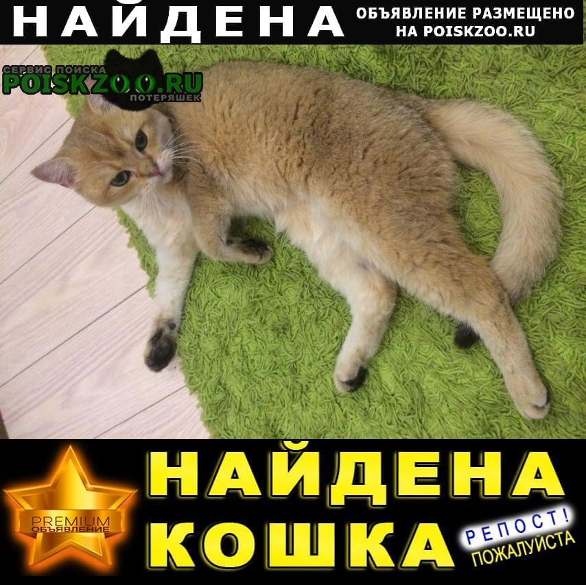 Уфа Найдена кошка окрас золотистая шиншилла