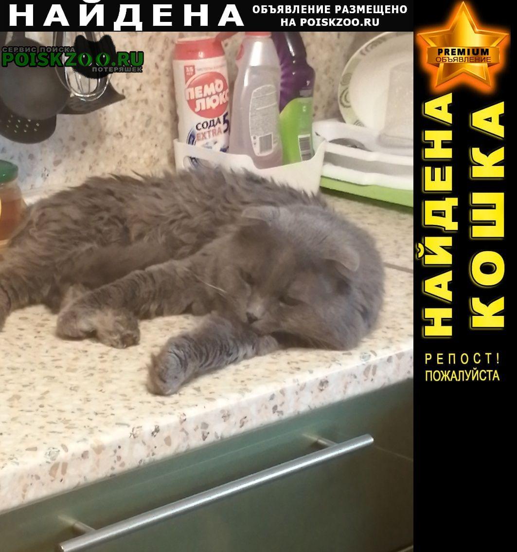 Найден кот шотландский вислоухий Ростов-на-Дону