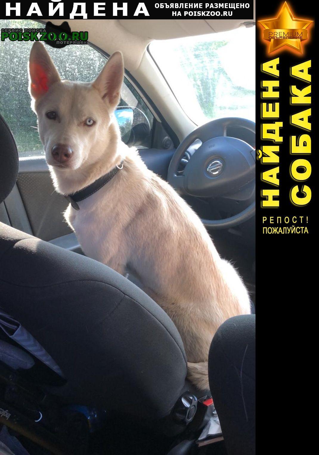Найдена собака белая лайка, сука г.Егорьевск