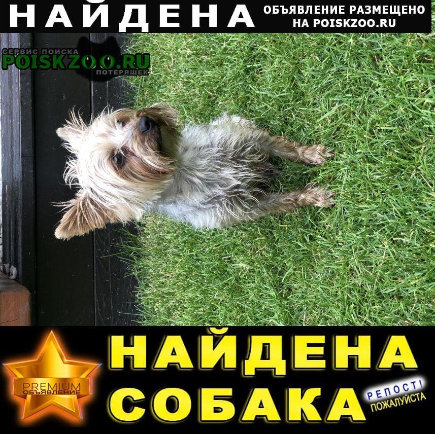 Найдена собака йоркширский терьер Красноярск