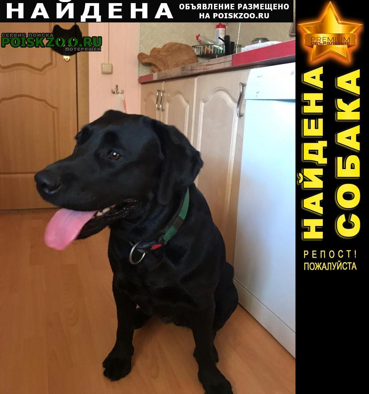 Найдена собака молодая ухоженная девочка лабрадор Чехов