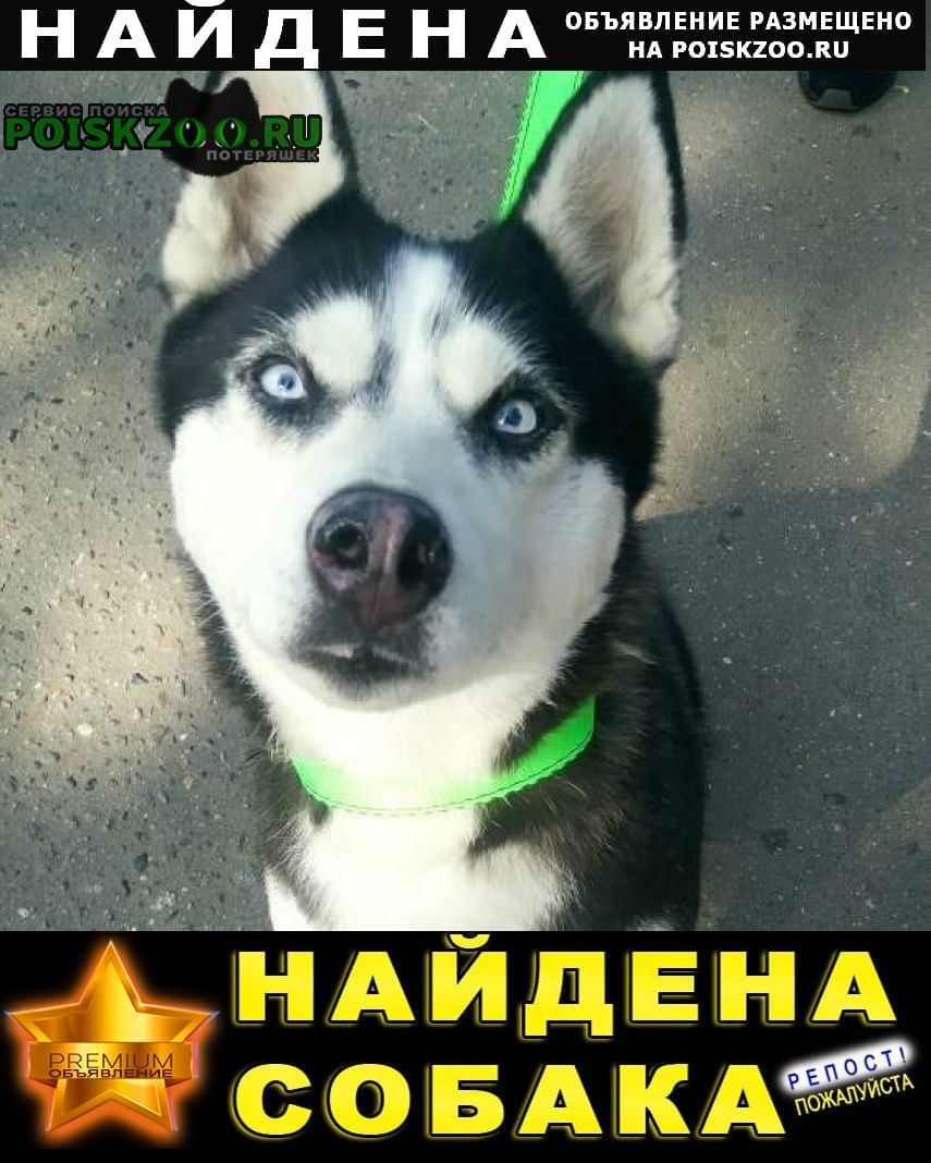 Найдена собака хаски Реутов