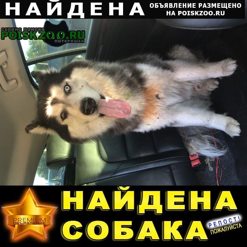 Найдена собака хаски на ленинградском шоссе Сходня