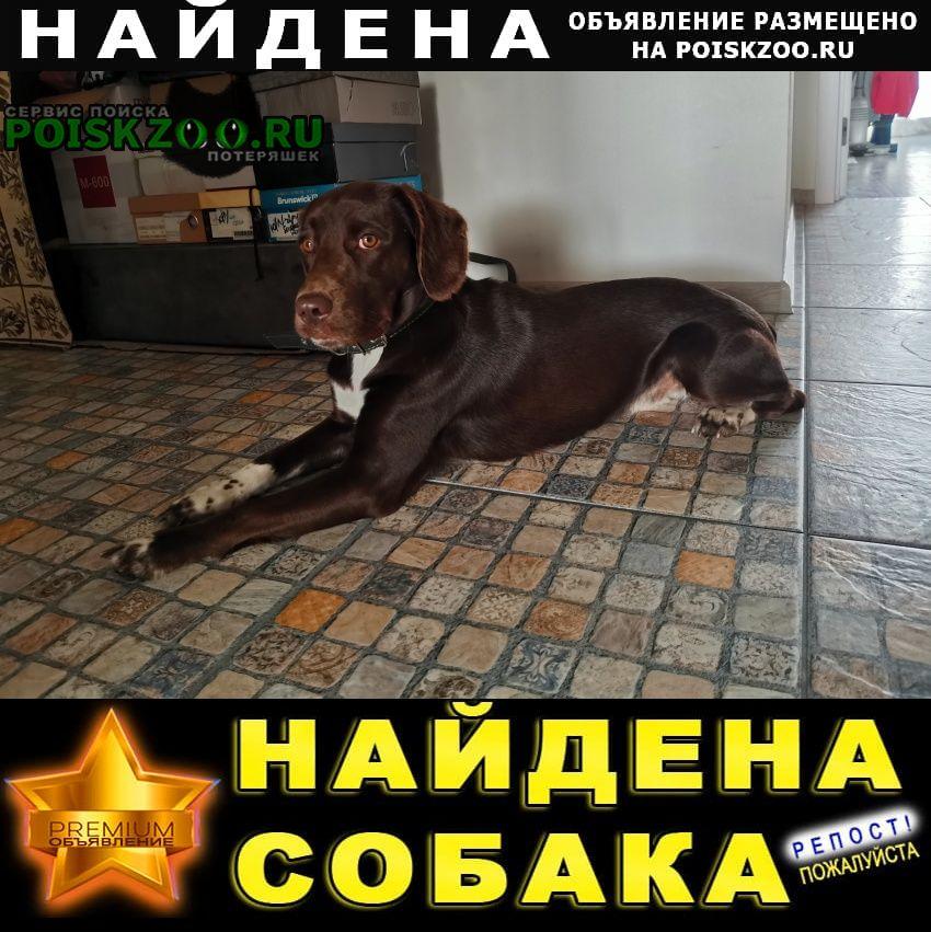 Найдена собака молодой шоколадный кобель Новосибирск