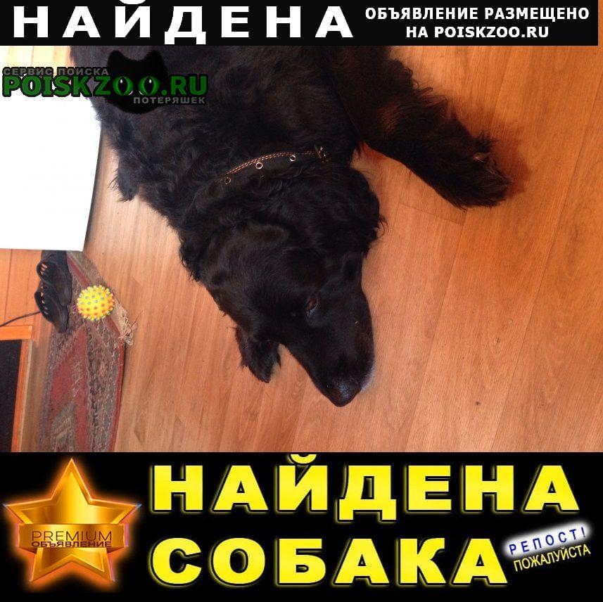 Орехово-Зуево Найдена собака черный прямошерстный ретривер
