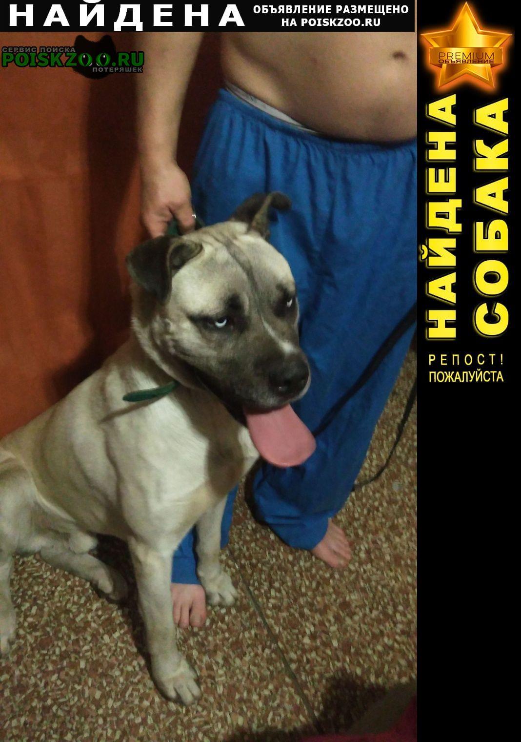 Найдена собака порода ка-де-бо Ростов-на-Дону
