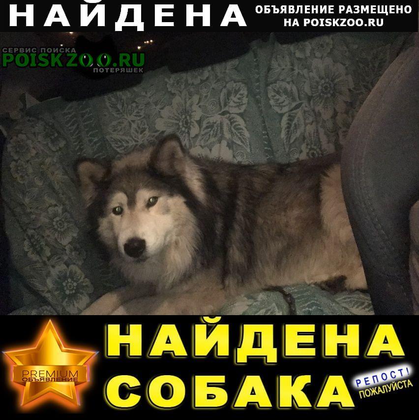 Найдена собака хаски Красноярск