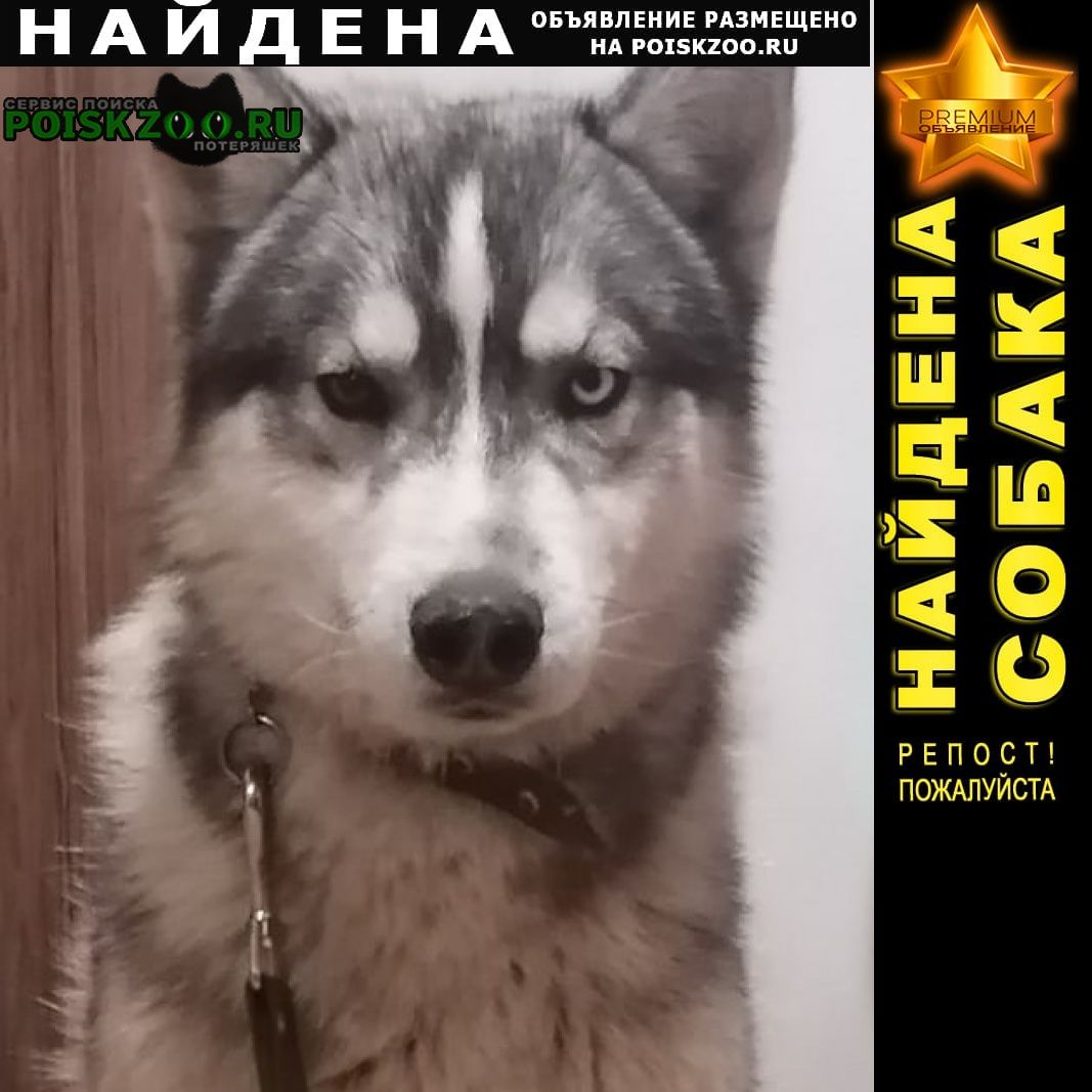 Найдена собака кобель хаски кмр Краснодар