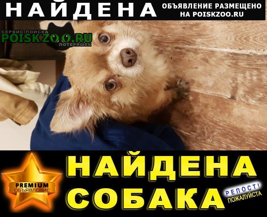 Найдена собака чихуахуа Санкт-Петербург