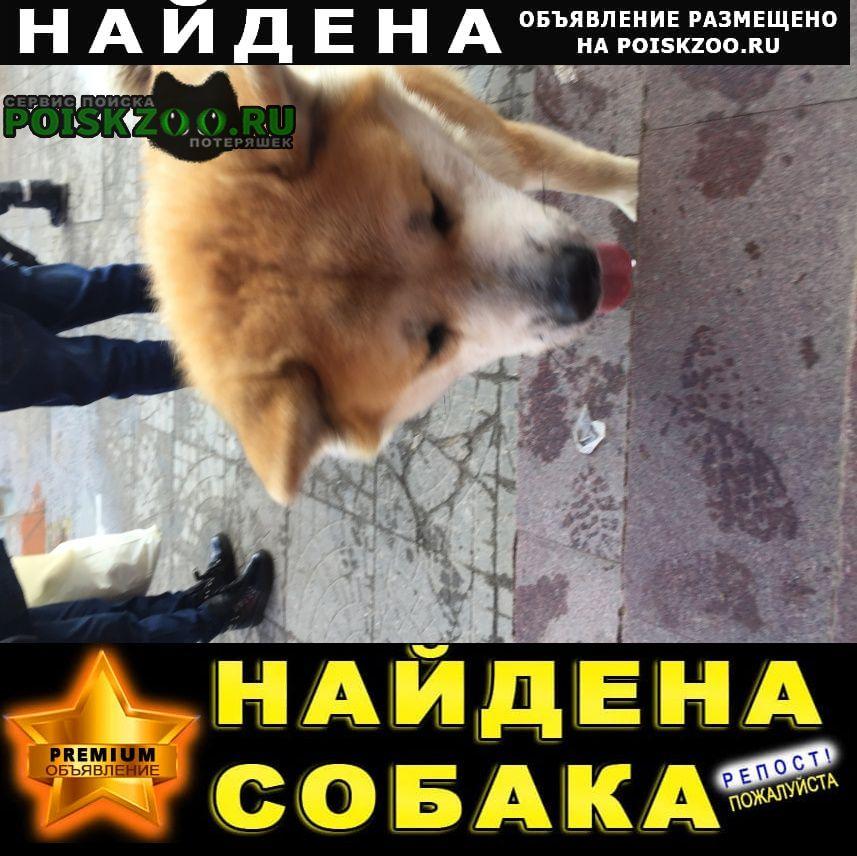 Найдена собака кобель породы «акита» Нарофоминск