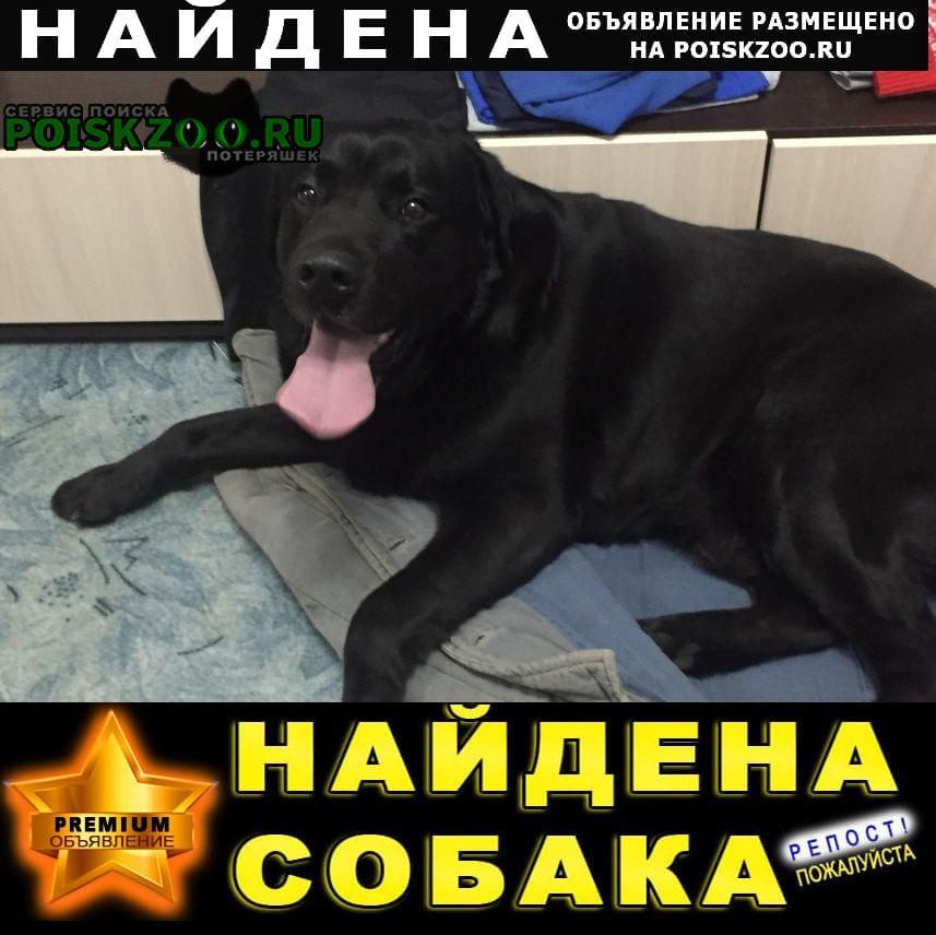Найдена собака кобель лабрадор Орел