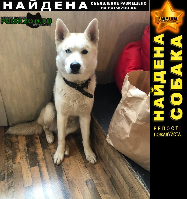 Найдена собака кобель, хаски-метис Балашиха