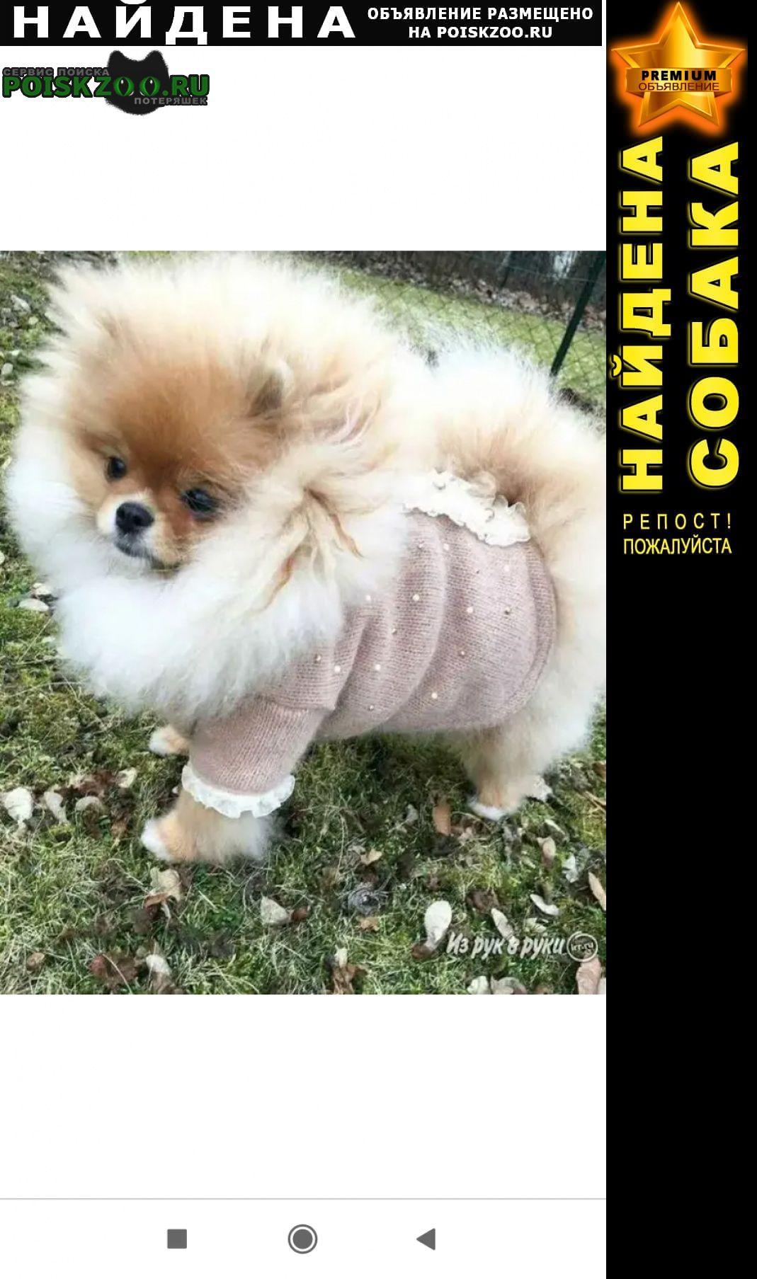 Найдена собака кобель шпиц Санкт-Петербург