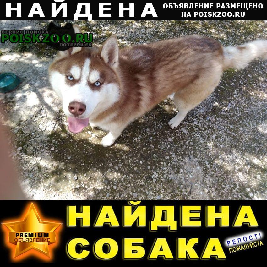 Найдена собака кобель молодой щенок породы хаски Звенигород