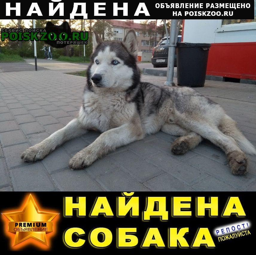 Найдена собака кобель хаски, голубоглазый, ямное Воронеж