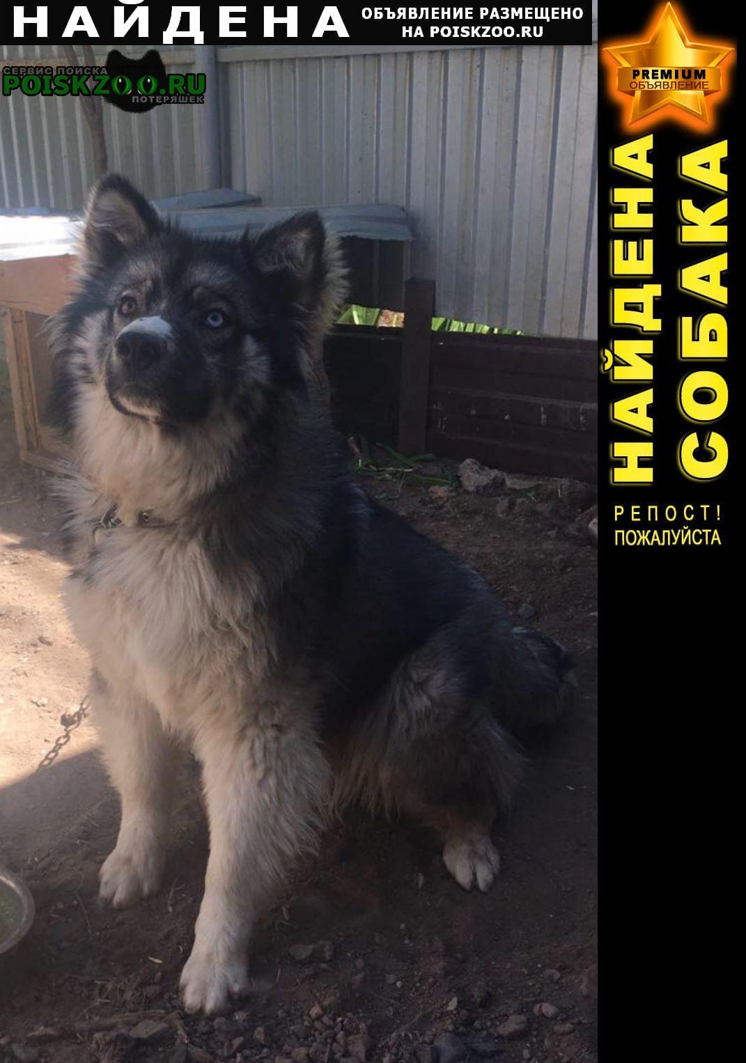 Найдена собака кобель метис хаски глаза разного цвета Оренбург
