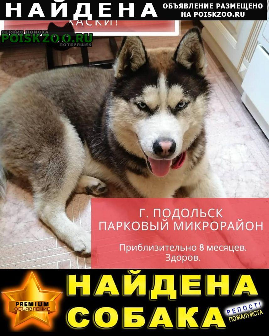 Найдена собака кобель молодой хаски Подольск