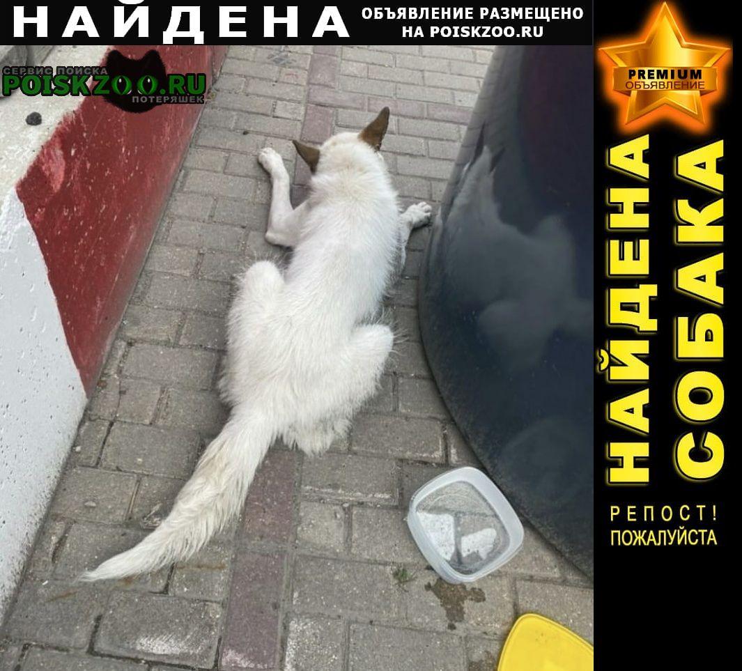 Найдена собака кобель белый с рыжими ушами Химки
