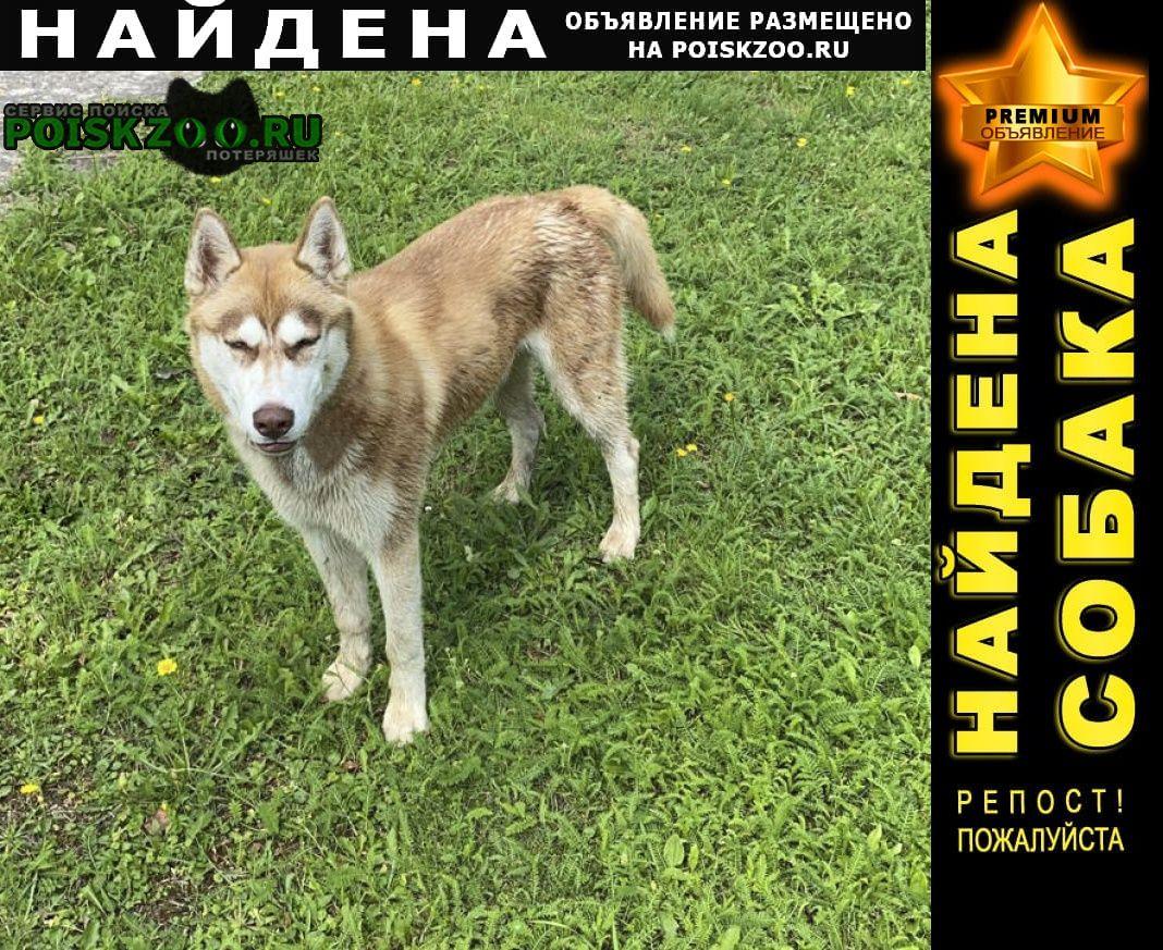Найдена собака кобель хаски Малоярославец